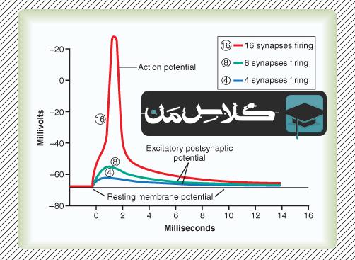 فیزیولوژِی دستگاه عصبی | جزوه فیزیولوژِی حواس ویژه : جزوه فیزیولوژی بخش حسی (قسمت سوم) :پتانسیل جمع شده پس سیناپسی تحریکی